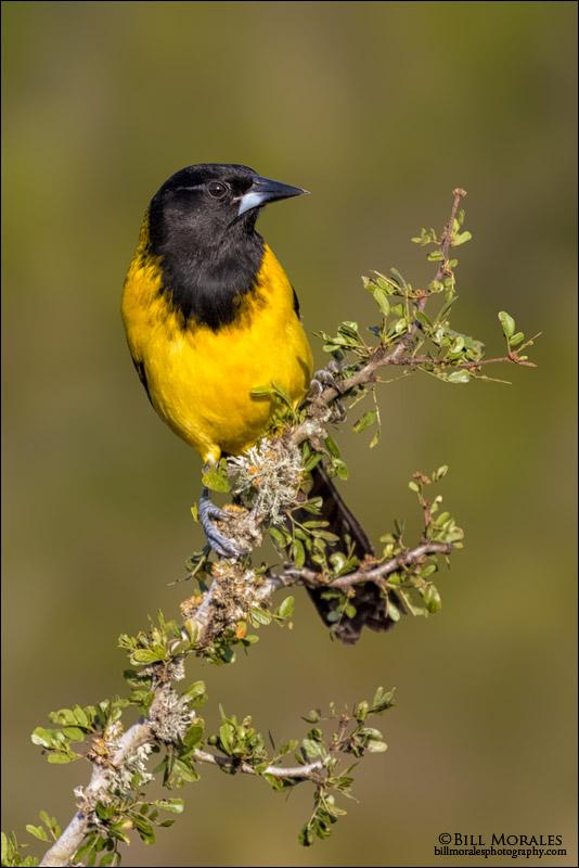 Audubon's-Oriole-02