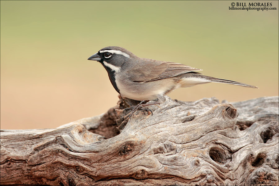 Black-throated-Sparrow-01