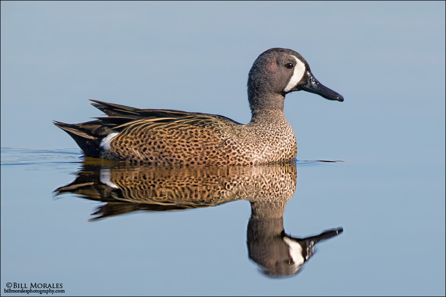 Blue-winged-Teal-01