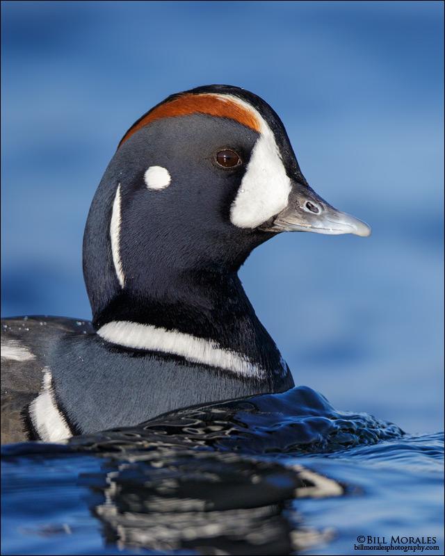 Harlequin-Duck-01
