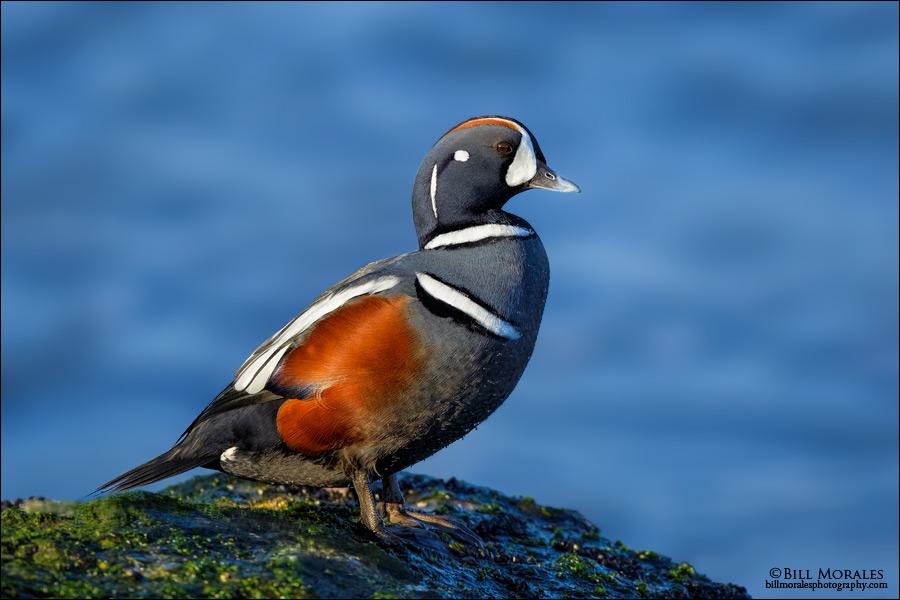 Harlequin-Duck-02