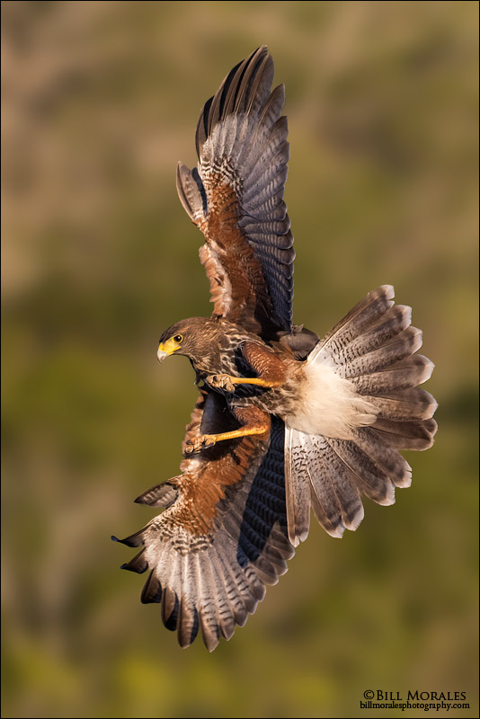 Harris's-Hawk-04