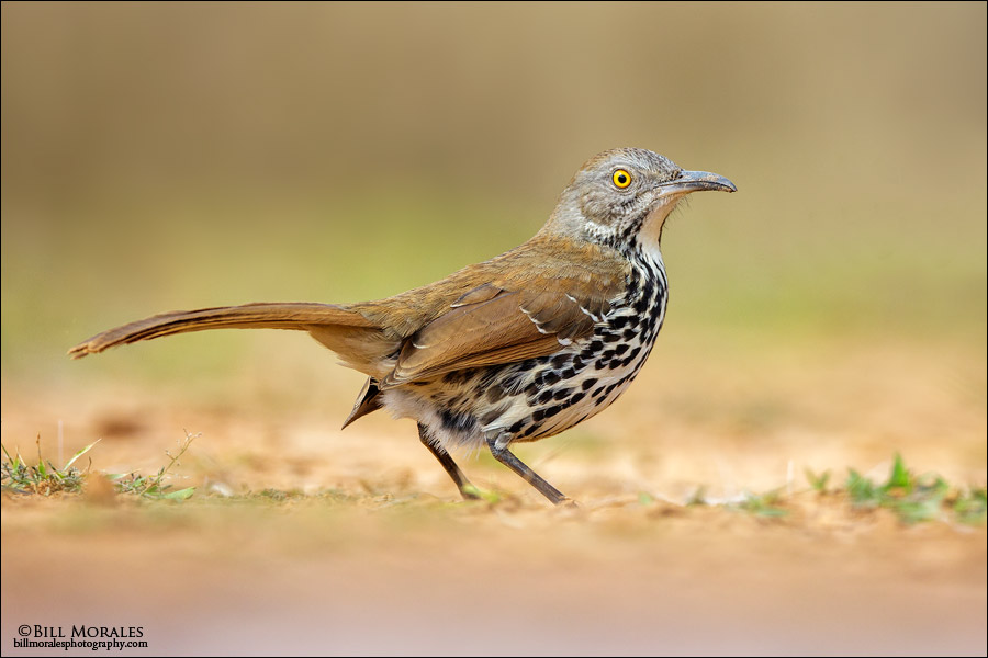 Long-billed-Thrasher-01