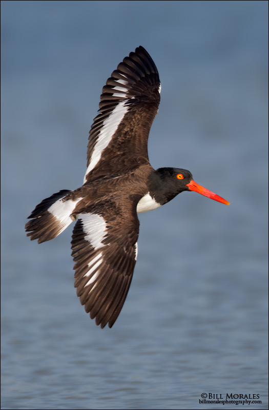 Oyster-Catcher-02