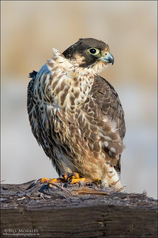 Peregrine-Falcon-02