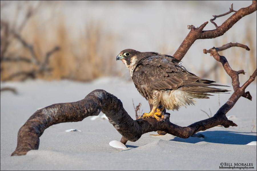 Peregrine-Falcon-04