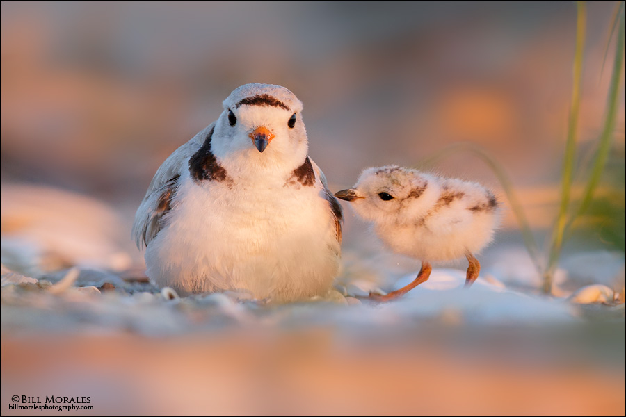 Piping-Plover-04