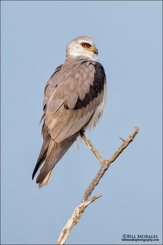 White-tailed-Kite-01