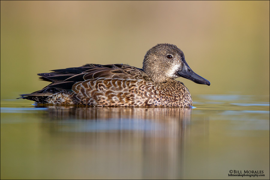 Blue-winged-Teal-02