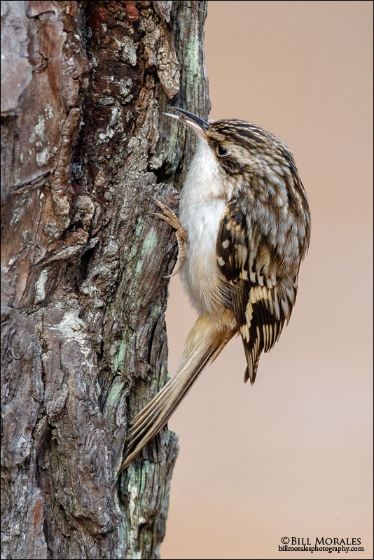 Brown Creeper 02