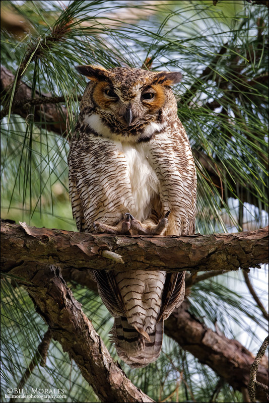 Great-Horned-Owl-01