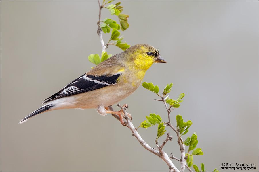 Lesser-Goldfinch-01