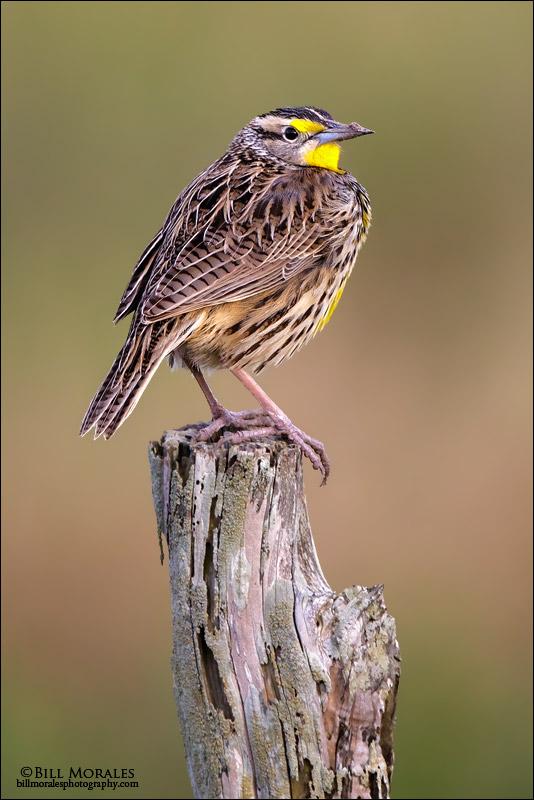 Meadowlark-02