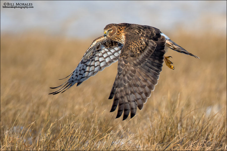 Northern-Harrier-04