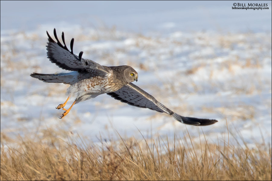 Northern-Harrier-05
