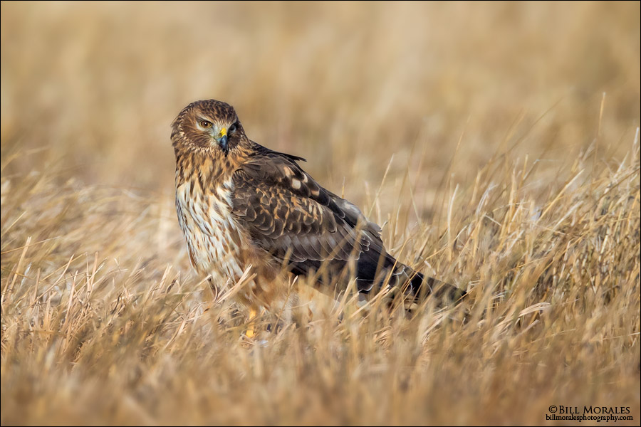 Northern-Harrier-06