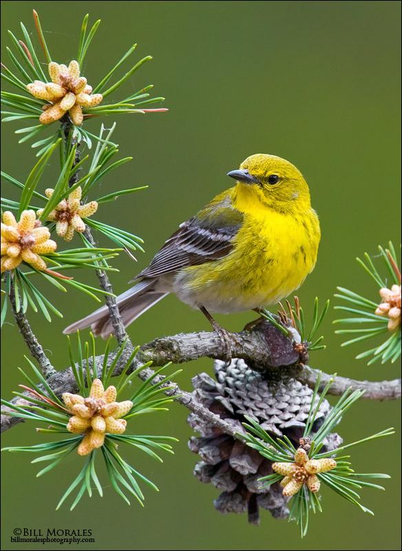 Pine-Warbler-01