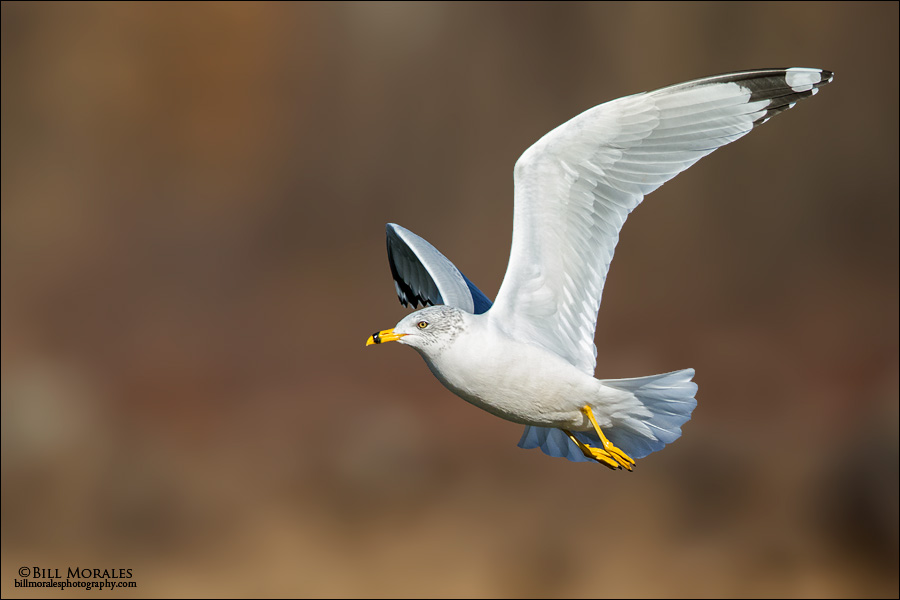 Ring-billed Gull 02