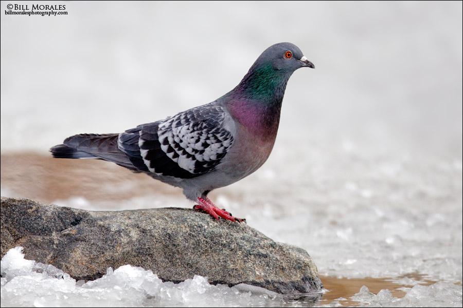 Rock Dove 02