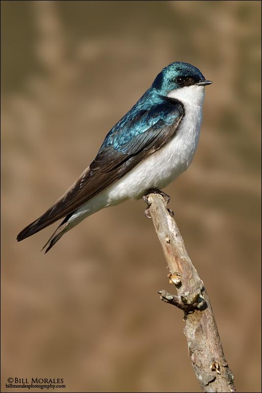 Tree-Swallow-01