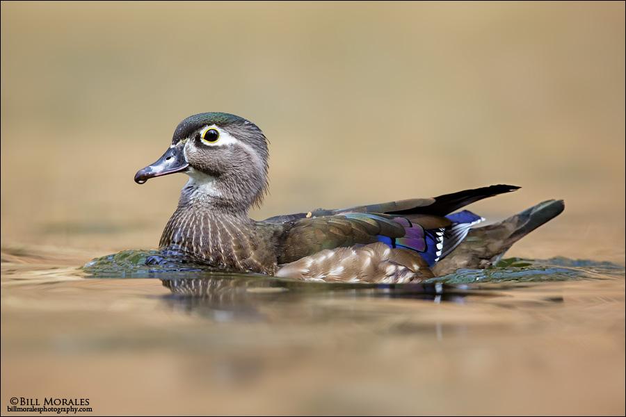 Wood-duck-02