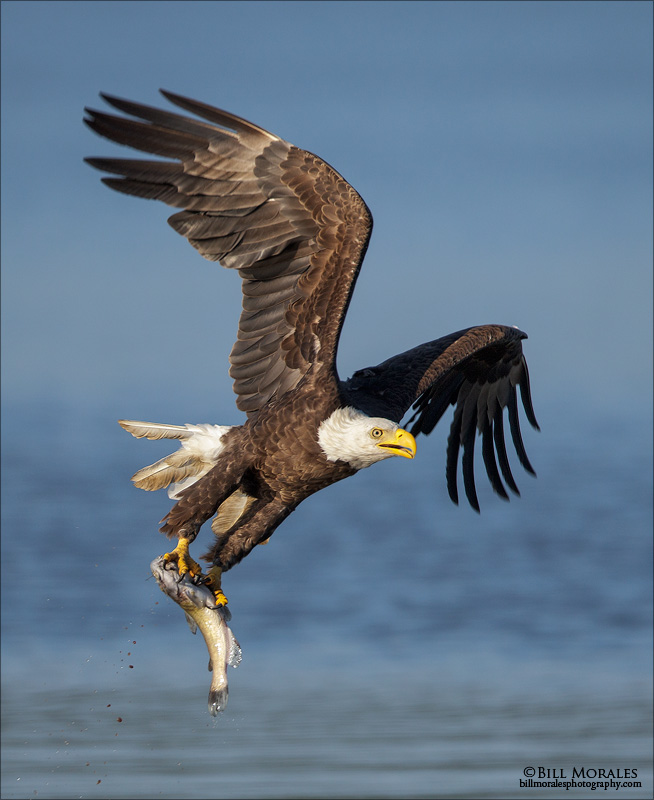 Bald-Eagle-04