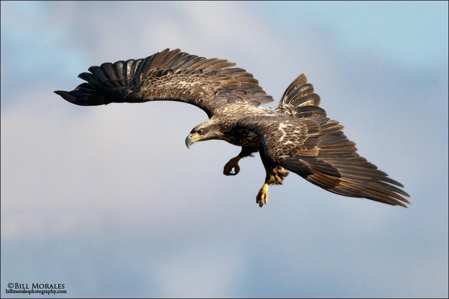 Bald-Eagle-05