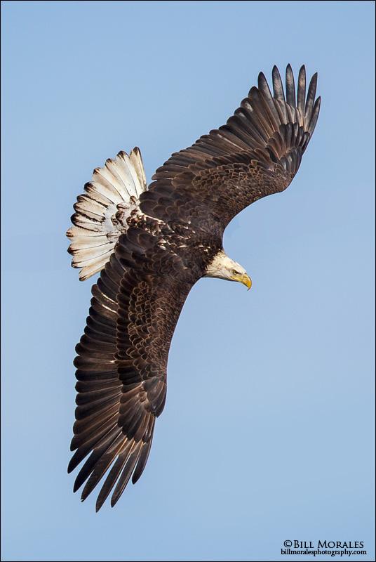 Bald-Eagle-06
