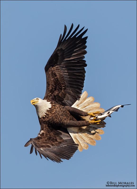 Bald-Eagle-07