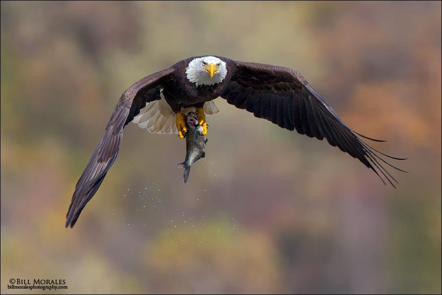 Bald-Eagle-08
