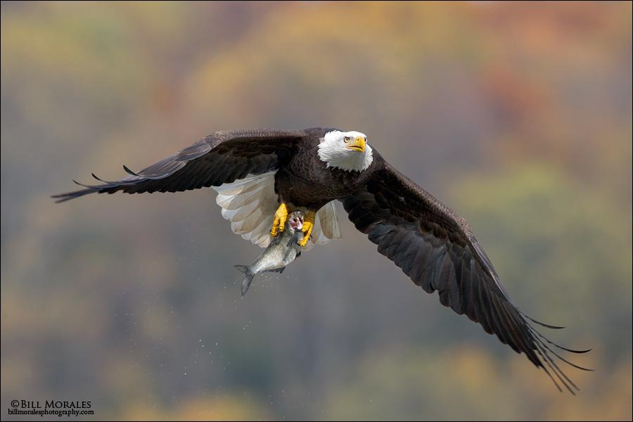Bald-Eagle-09