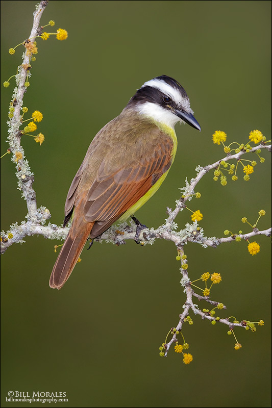 Great-Kiskadee-02
