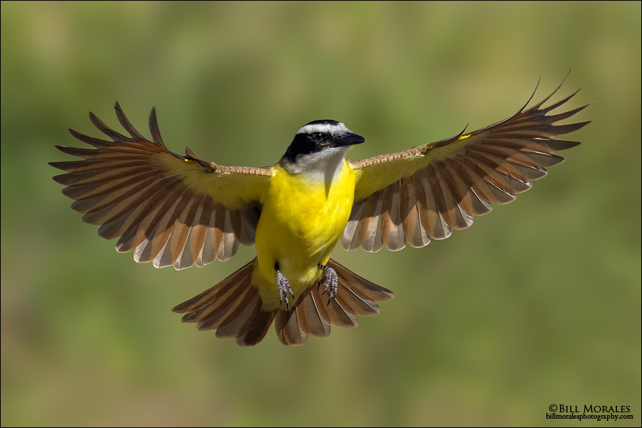 Great-Kiskadee-03