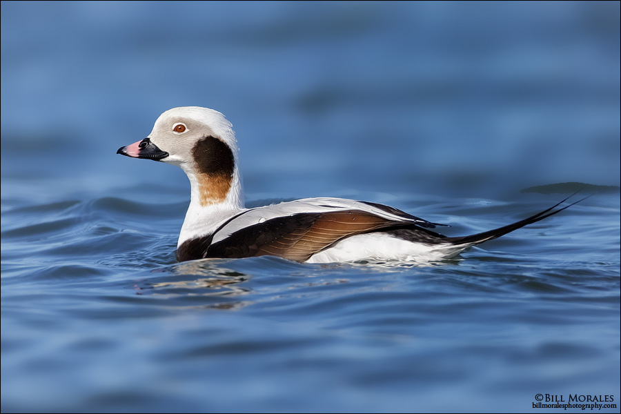 Long-tailed-Duck-03