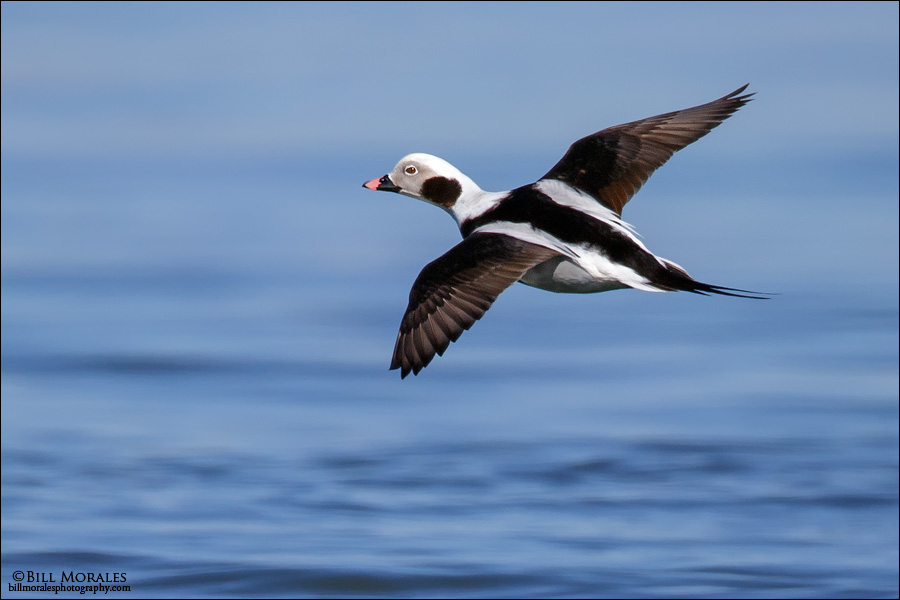Long-tailed-Duck-04