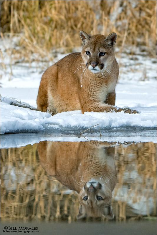 Mountain Lion 03