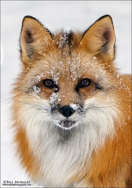 Red-Fox-02