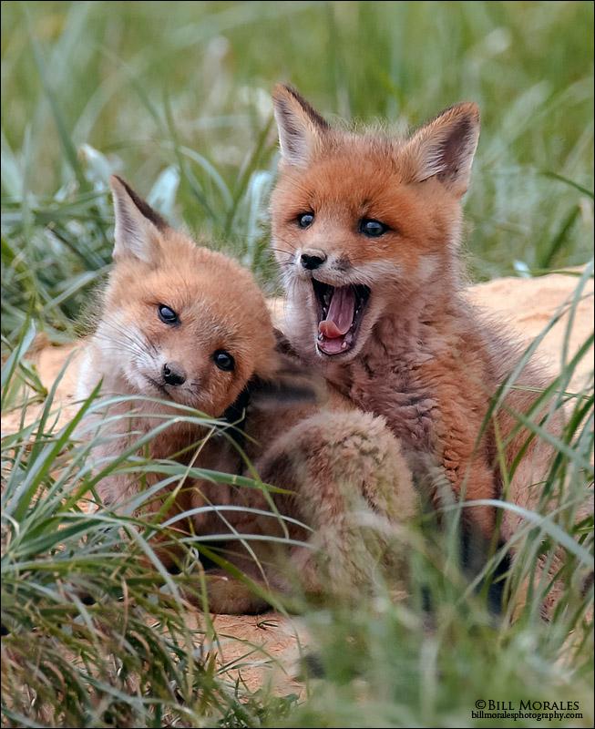 Red-Fox-04