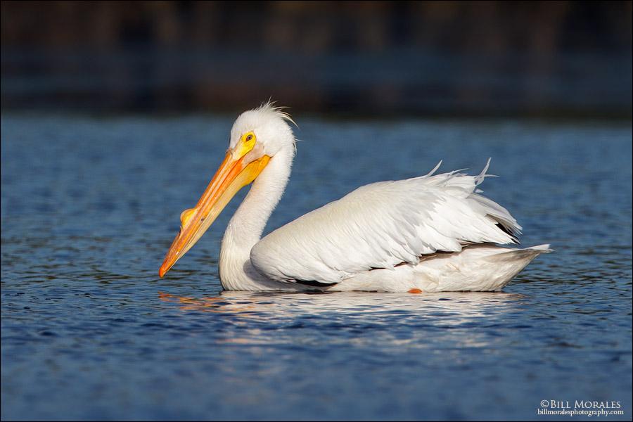 White Pelican 02