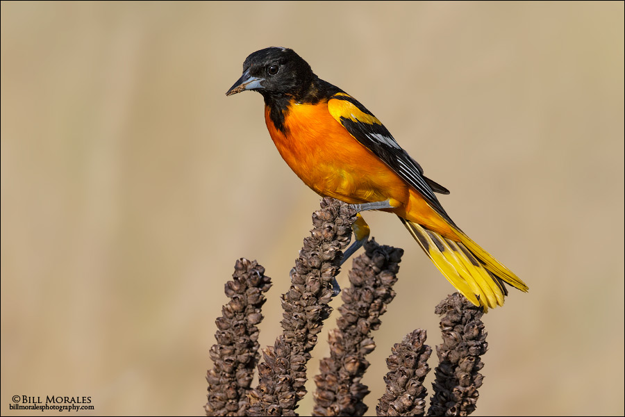 Baltimore-Oriole-02