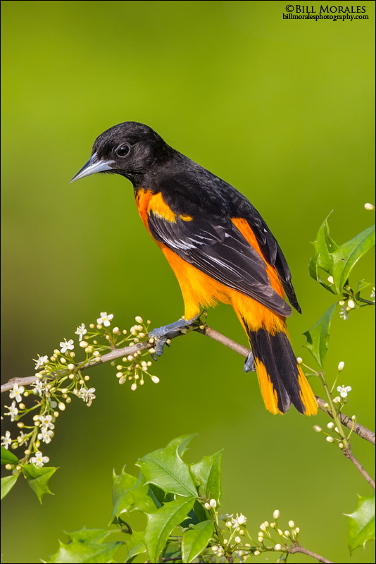 Baltimore-Oriole-03