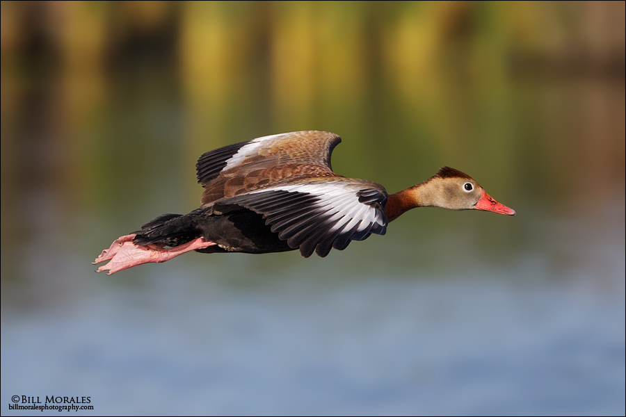 Black-bellied-whistling-Duck-02