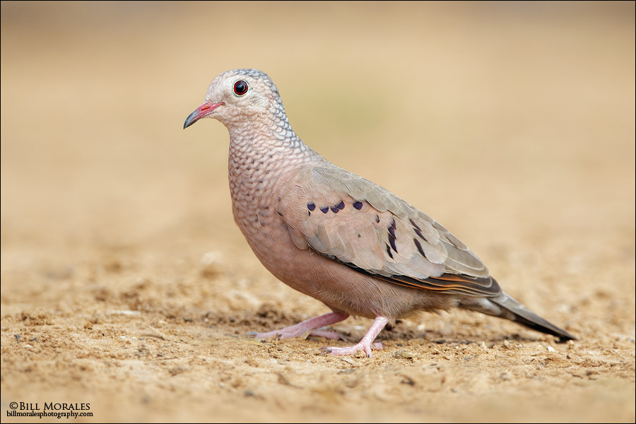 Common-Ground-Dove-01