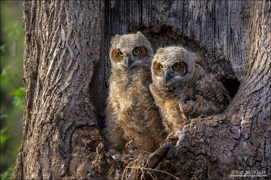 Great Horned Owl 02