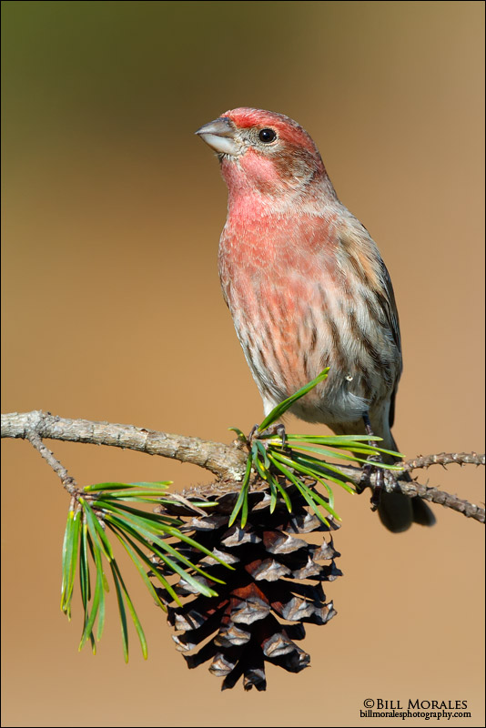 House finch 01