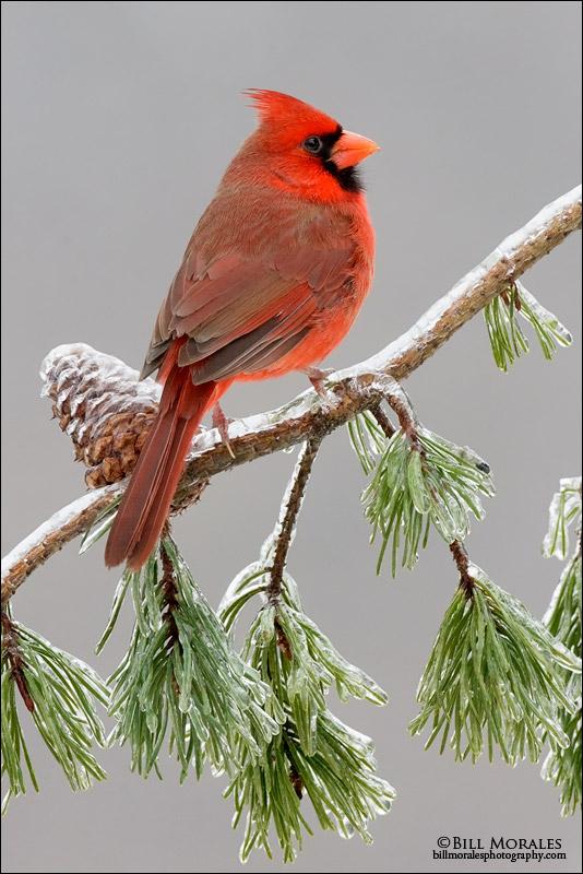 Northern Cardinal 02
