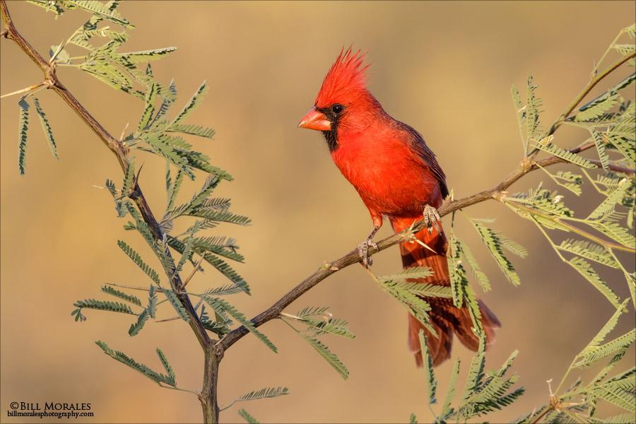 Northern-Cardinal-03