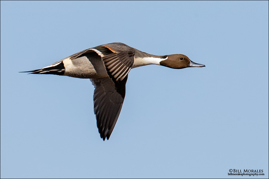 Northern Pintail-02