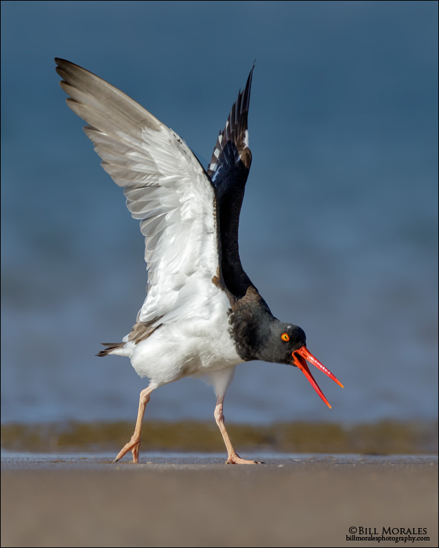 Oyster-Catcher-03