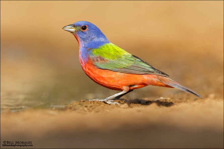 Painted-Bunting-04